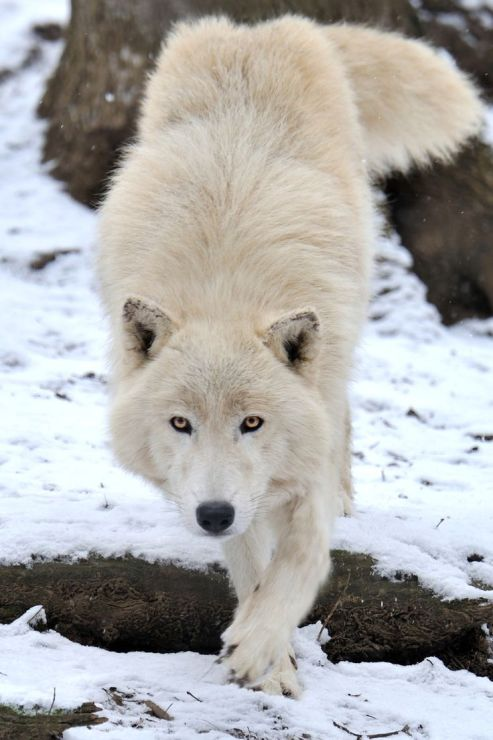 Arctic Wolf Approach by Josef Gelernter _ beautiful wolves _ Pinterest
